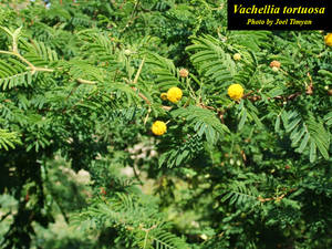 Vachellia tortuosa