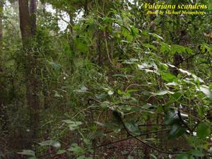 Valeriana scandens
