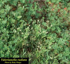 Valerianella radiata