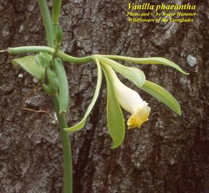 Vanilla phaeantha