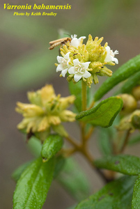 Varronia bahamensis