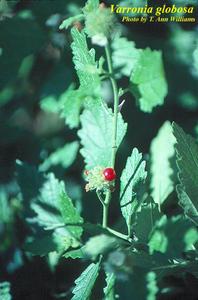 Varronia globosa