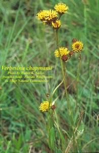Verbesina chapmanii