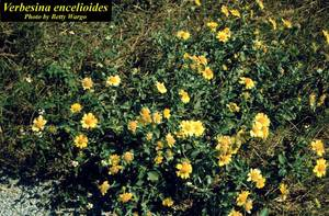 Verbesina encelioides