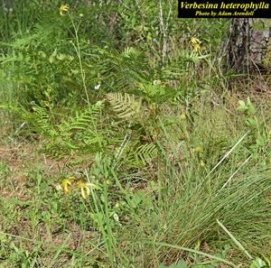 Verbesina heterophylla