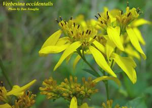 Verbesina occidentalis