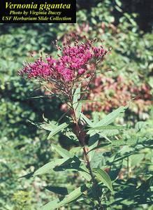 Vernonia gigantea