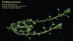 Veronica persica