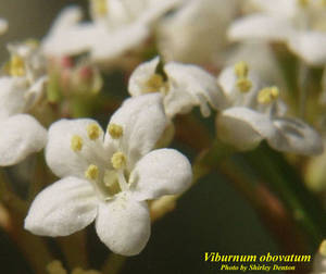 Viburnum obovatum