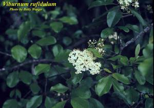 Viburnum rufidulum