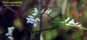 Vicia acutifolia