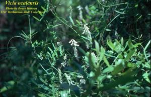 Vicia ocalensis