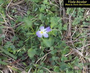 Viola bicolor