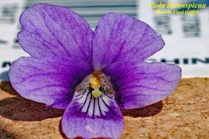 Viola inconspicua