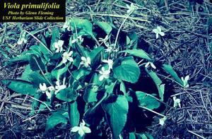Viola primulifolia