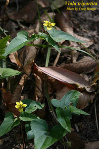 Viola tripartita