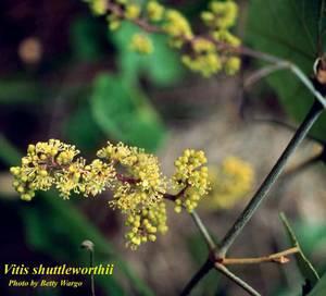 Vitis shuttleworthii
