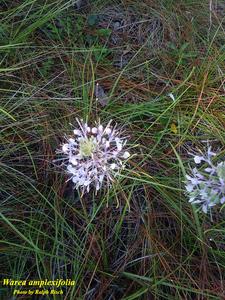 Warea amplexifolia