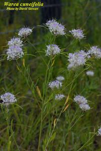 Warea cuneifolia