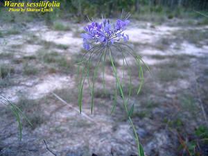 Warea sessilifolia
