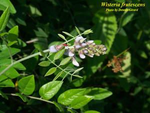 Wisteria frutescens