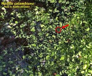 Wolffia columbiana