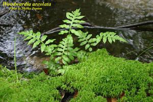 Woodwardia areolata