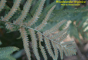 Woodwardia virginica