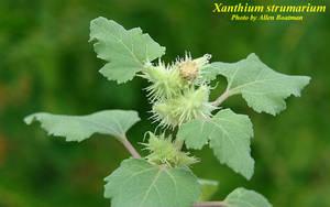 Xanthium strumarium