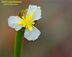Xyris caroliniana