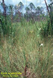Xyris scabrifolia