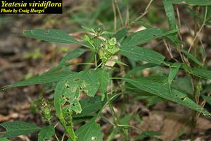 Yeatesia viridiflora