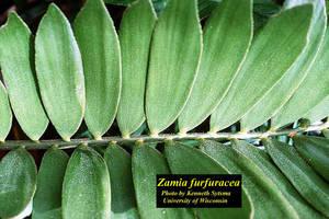 Zamia furfuracea