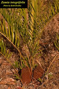 Zamia integrifolia
