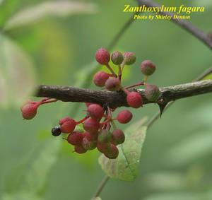 Zanthoxylum fagara