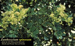 Zanthoxylum spinosum