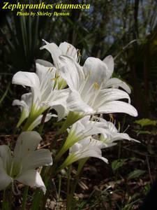 Zephyranthes atamasca