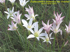 Zephyranthes atamasca var. treatiae