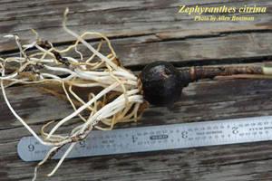 Zephyranthes citrina