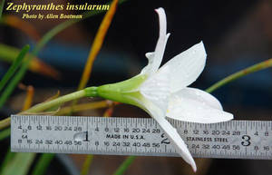 Zephyranthes insularum