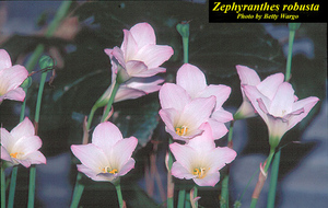 Zephyranthes robusta