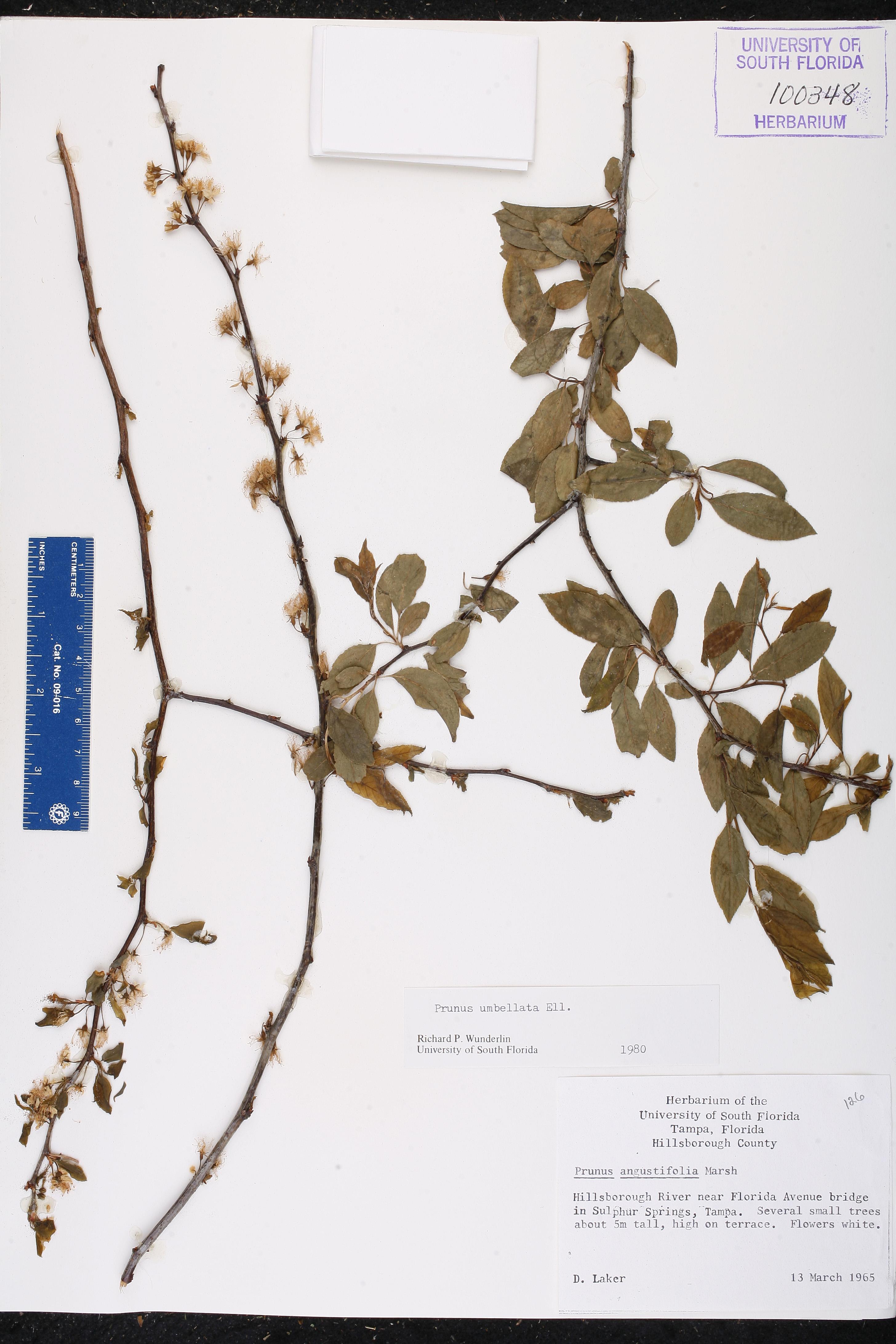 Prunus umbellata - Species Page - ISB: Atlas of Florida Plants