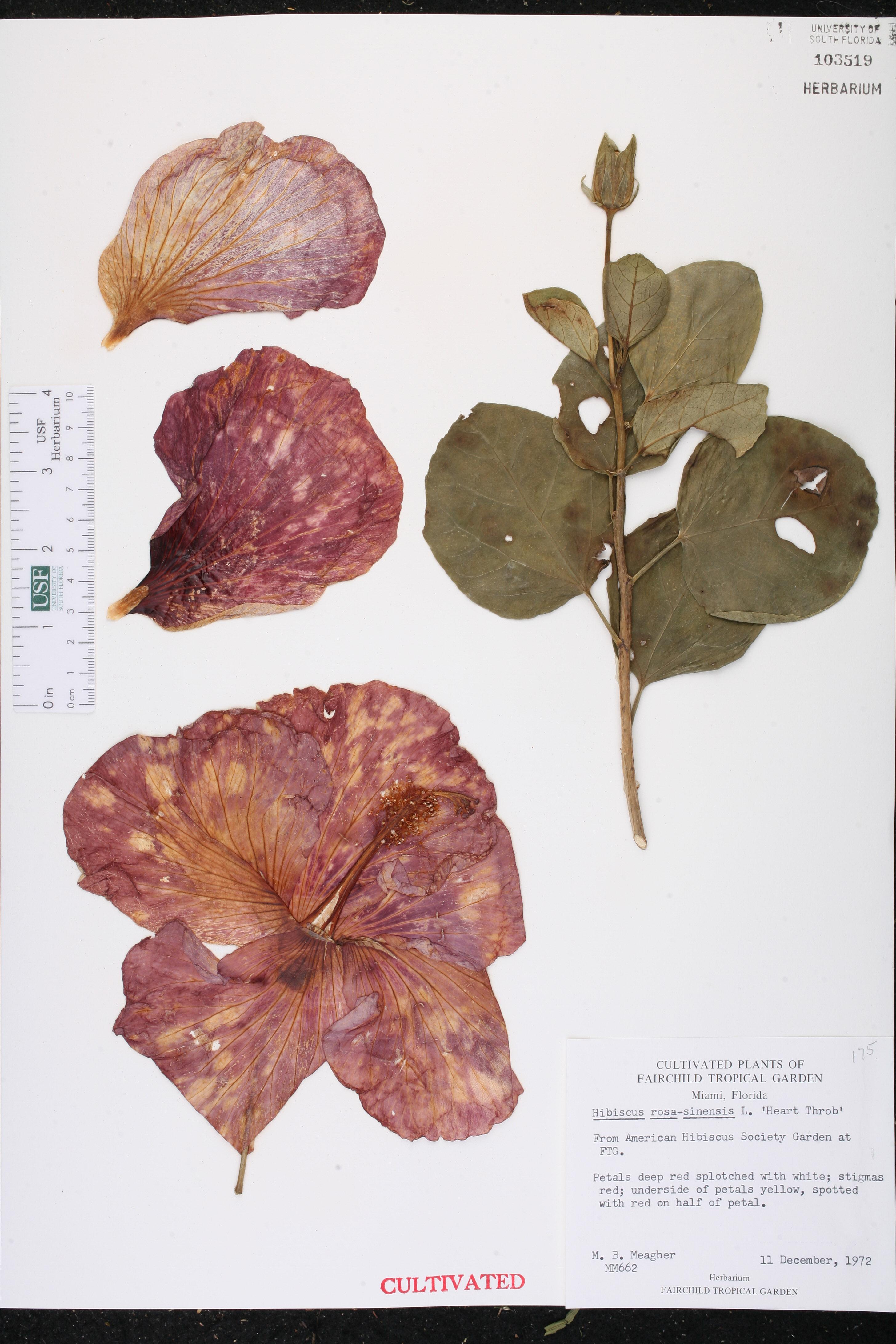 Hibiscus rosa sinensis var rosa sinensis species page isb usa izmirmasajfo