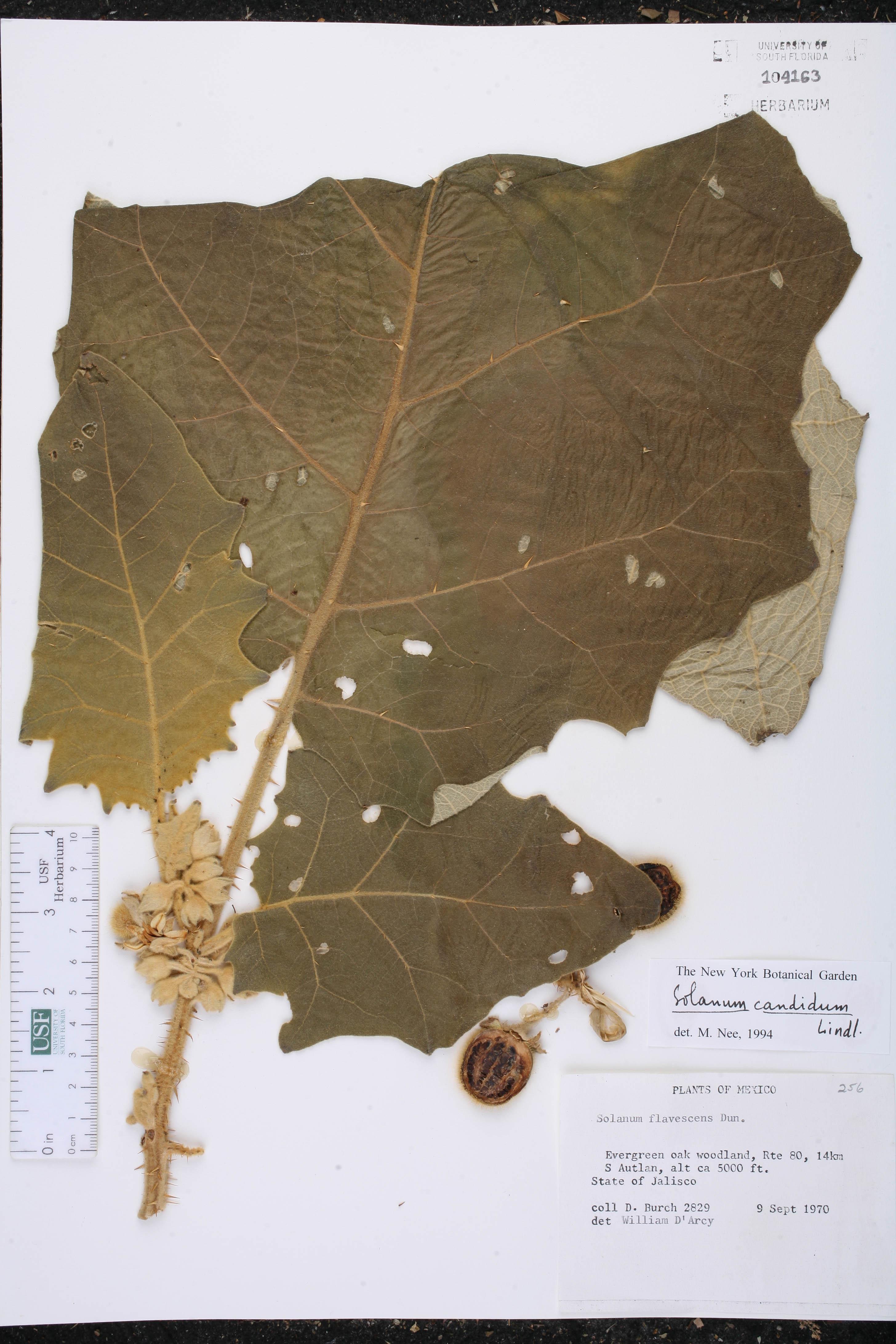 Solanum candidum image