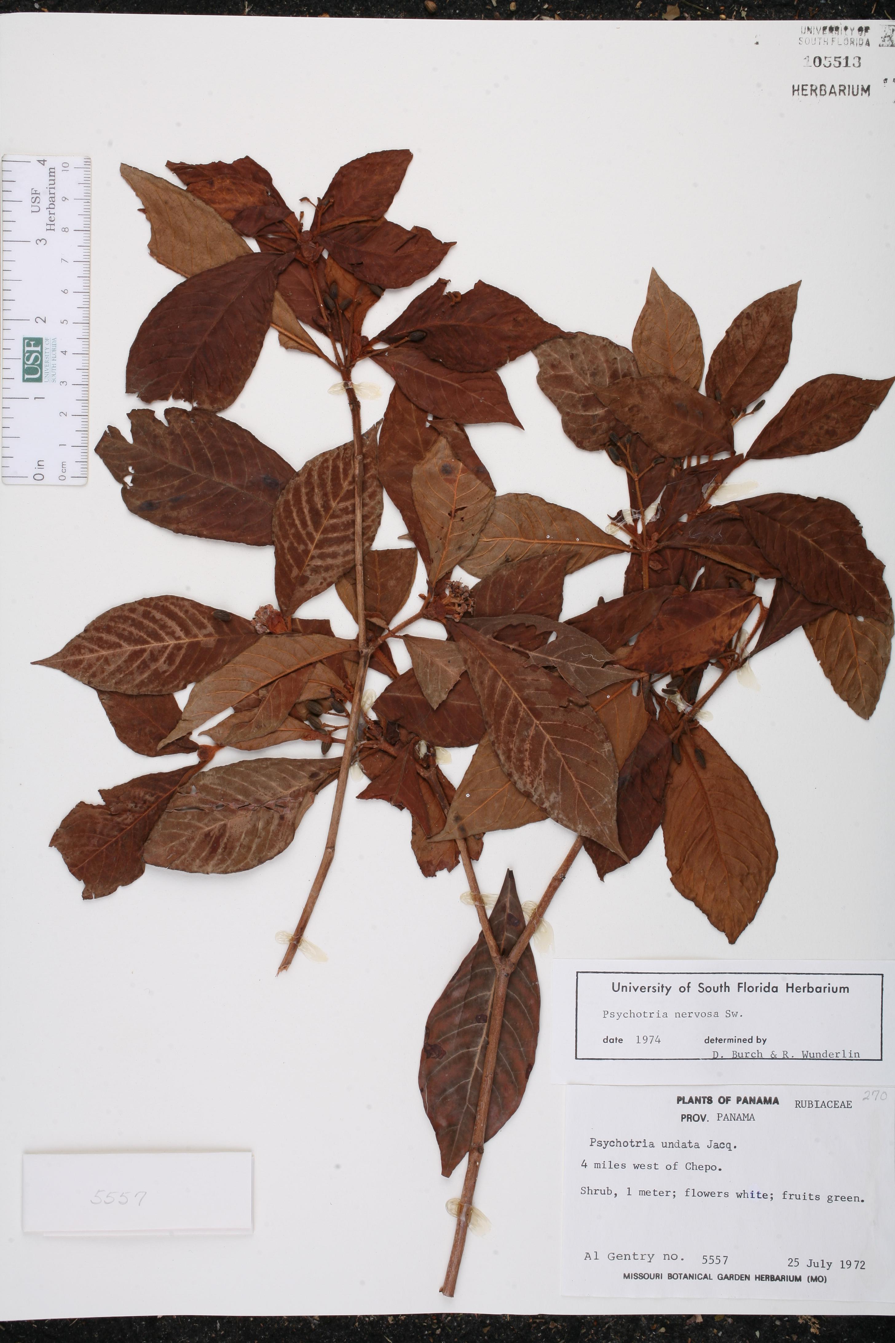 Psychotria nervosa - Species Page - ISB: Atlas of Florida Plants