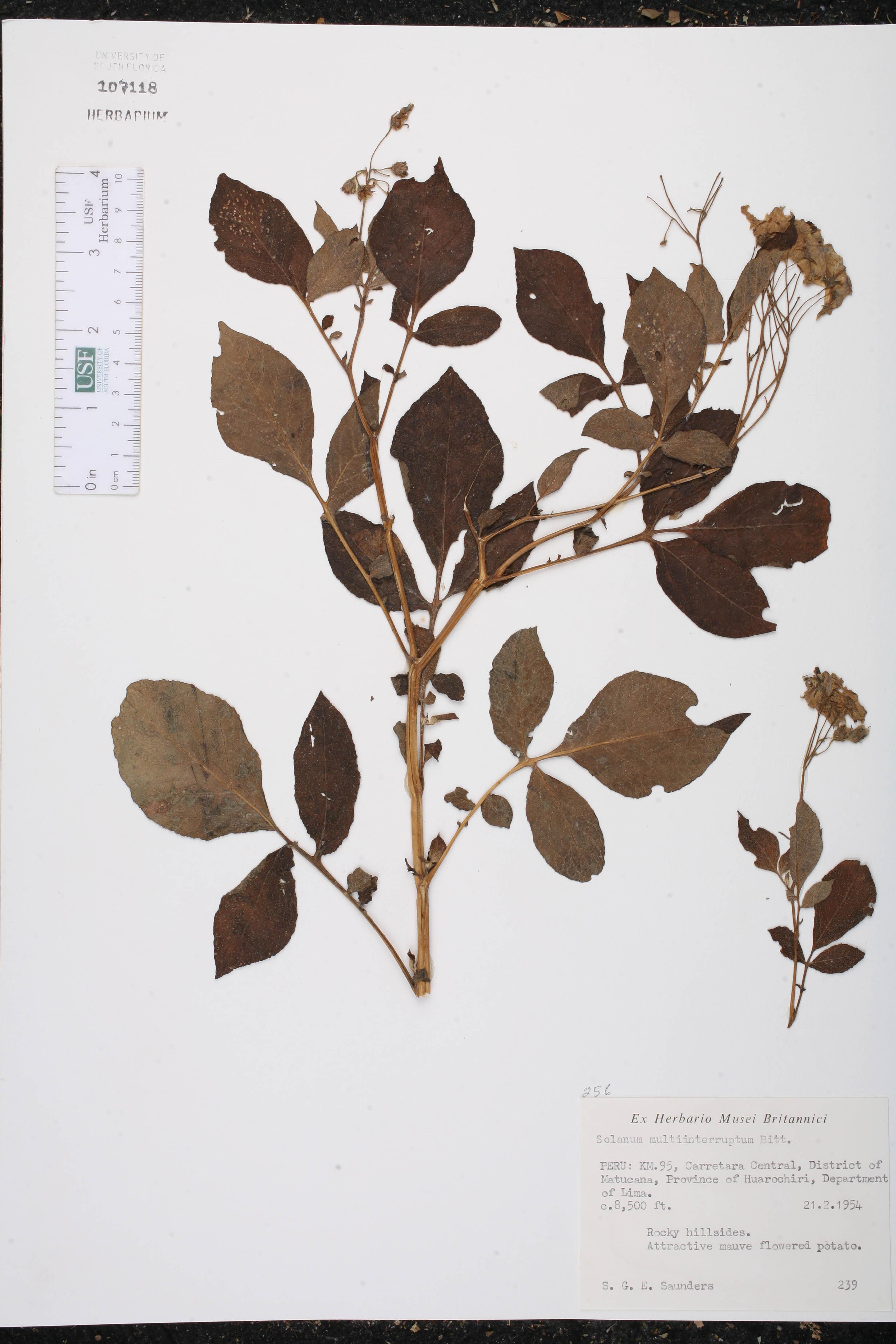 Solanum multiinterruptum image