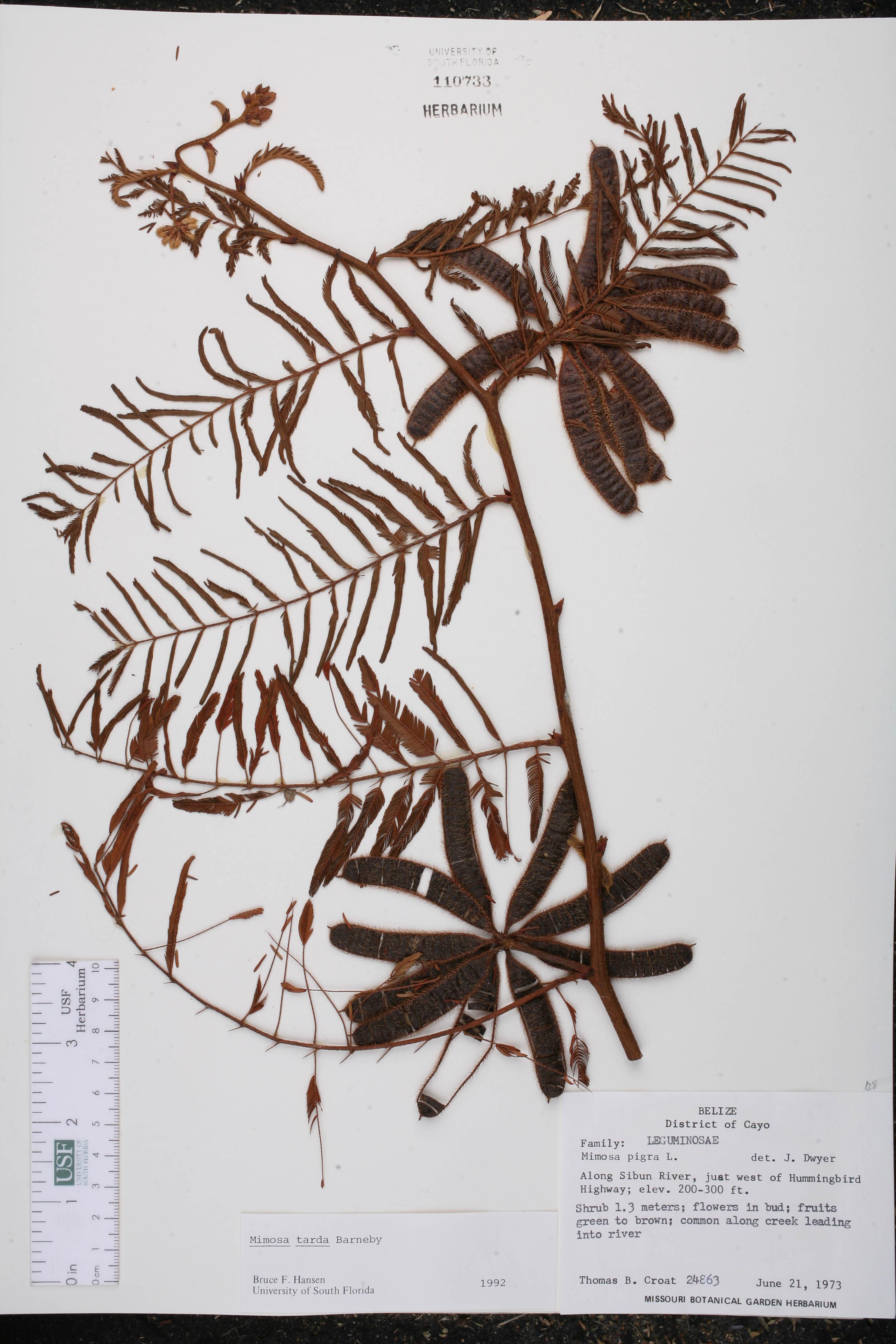 Mimosa tarda image