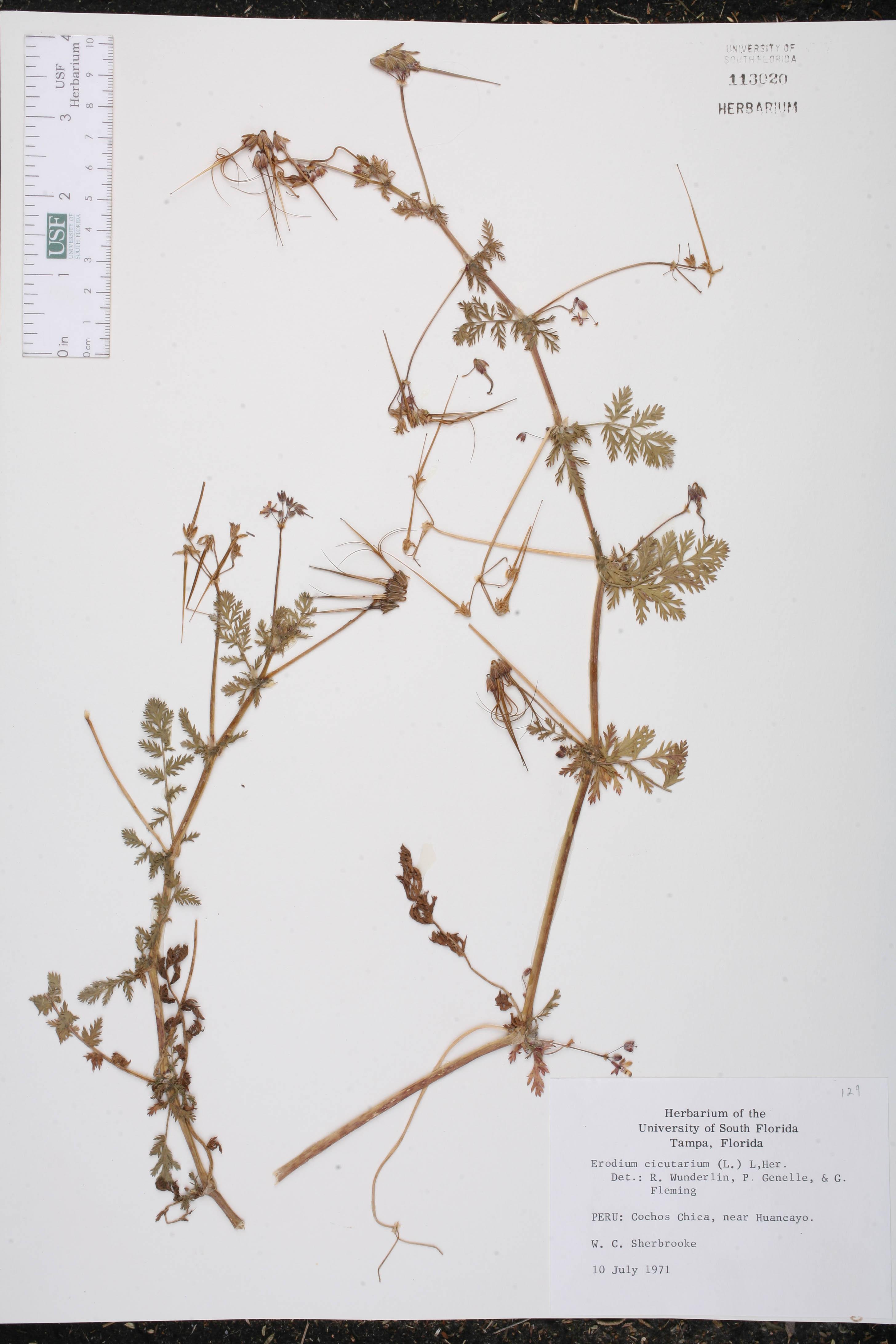 Herbarium specimen details isb: atlas of florida plants.