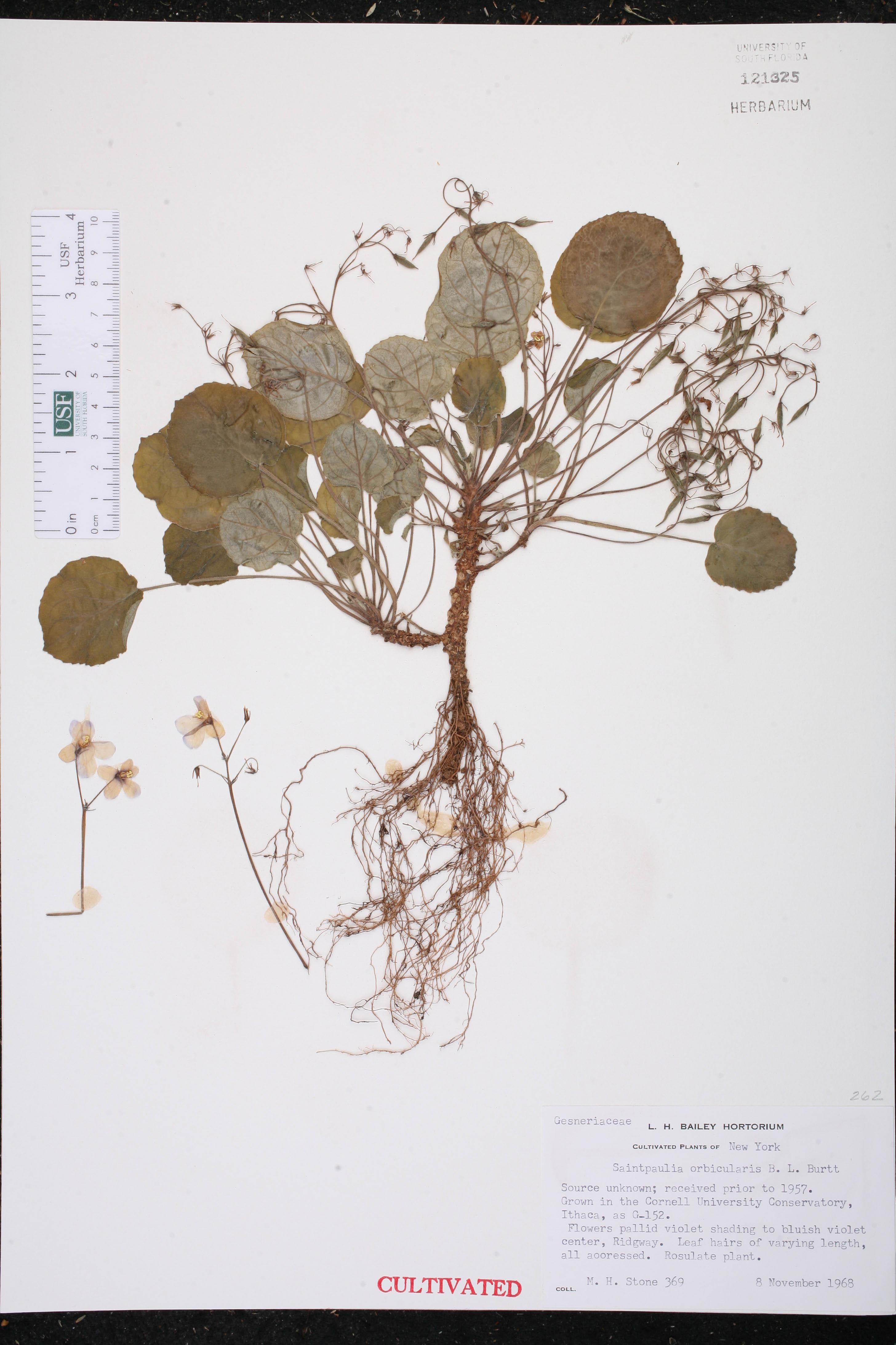 Saintpaulia ionantha subsp. orbicularis image