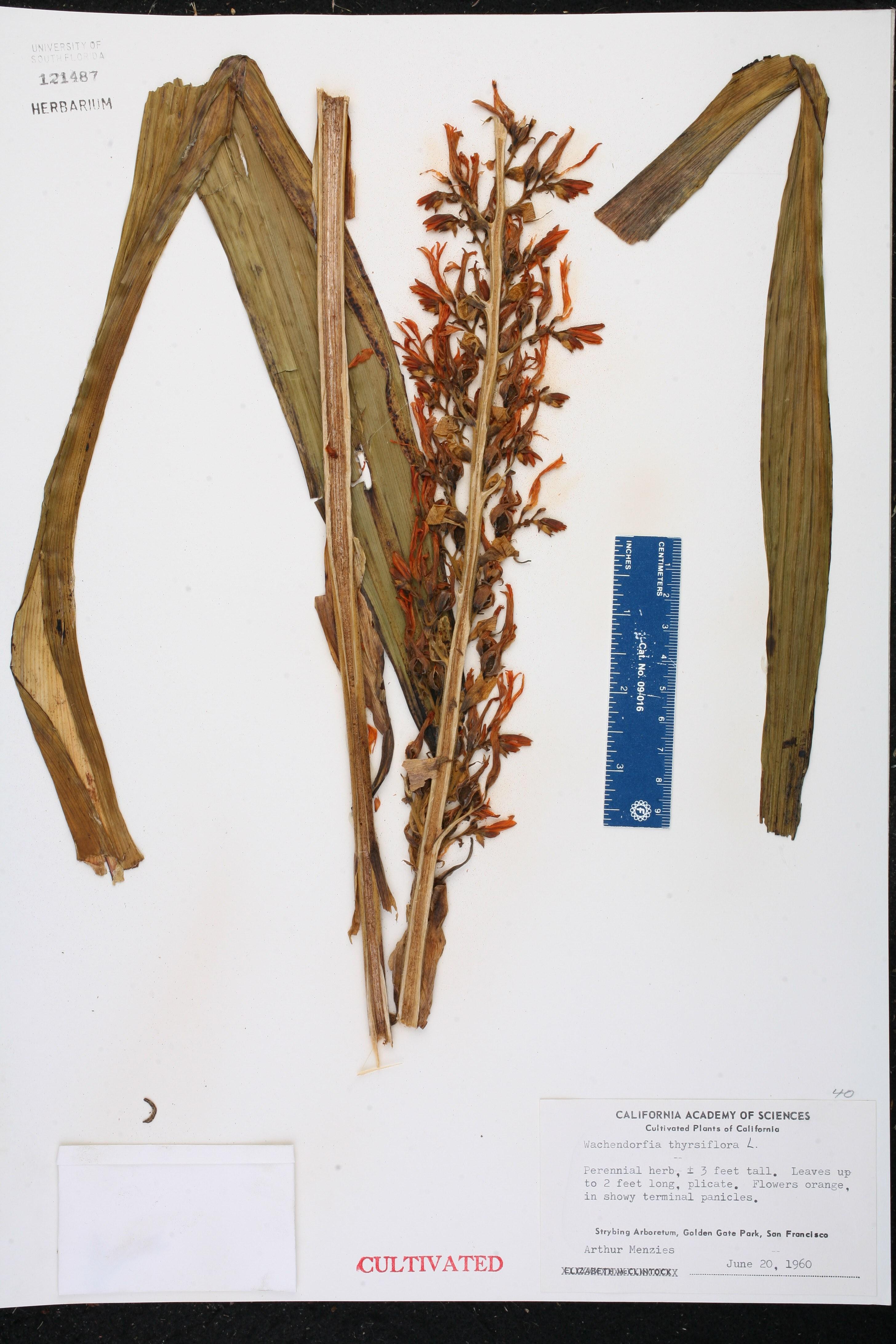 Wachendorfia thyrsiflora image